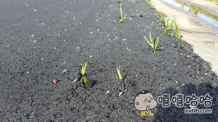 新铺的路。。。竟然长出草来了。