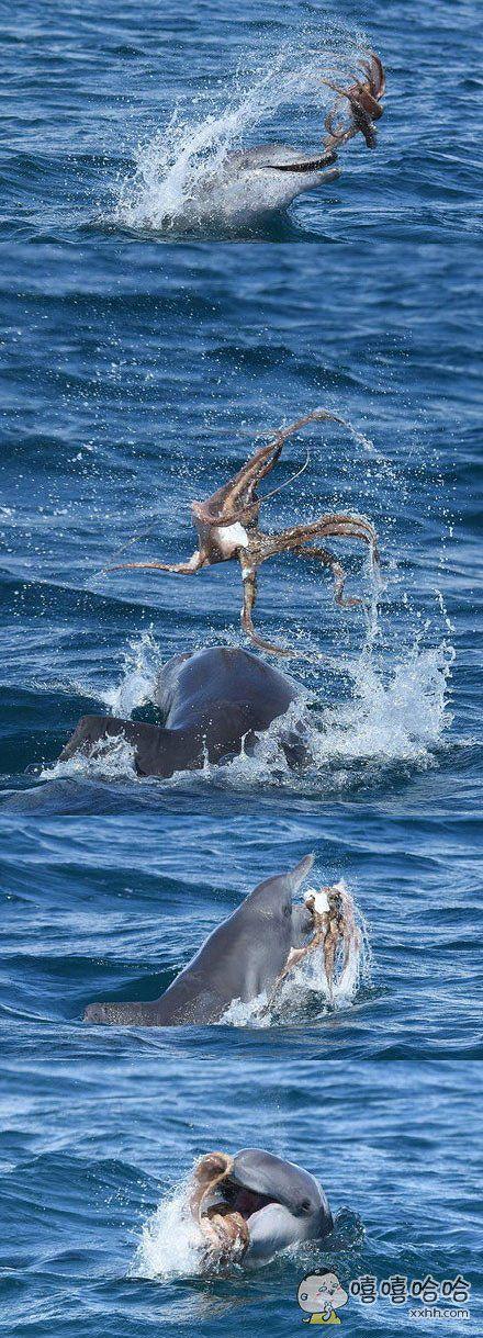 澳大利亚的博士生克丽丝塔,拍到一只海豚跟一只章鱼嬉戏的画面,海豚完全将章鱼含在嘴里,随后将其抛入空中,溅起了片片水花,场面甚是壮观。