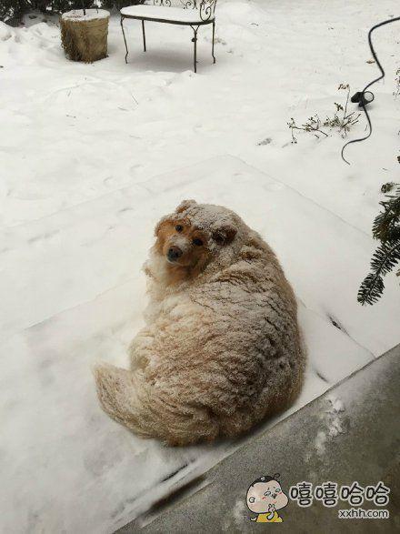 网友家的狗,躺在雪地里,胖成个泡芙了……