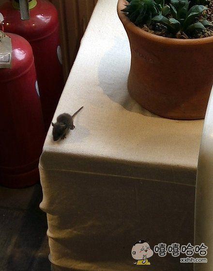 小老鼠上灯台,偷油吃下不来