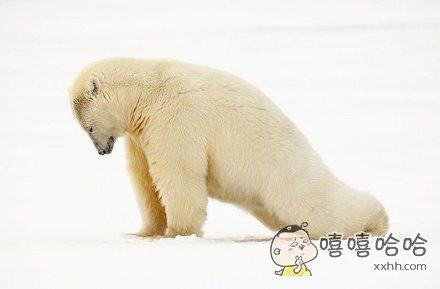 一位摄影师拍下了一只正在自娱自乐的北极熊。。。其实应该是在拉伸身体,不是在做俯卧撑。。。。