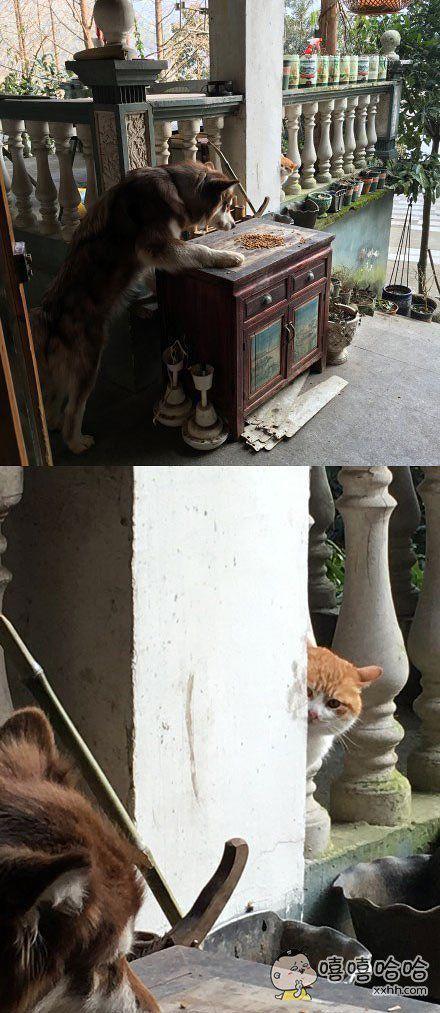 """大黄狗第一次看见猫粮,先是瞅瞅,又闻了闻,一看四下无人,又偷偷尝了下。在一旁全程围观的小黄猫表示:""""妈的智障!""""#"""