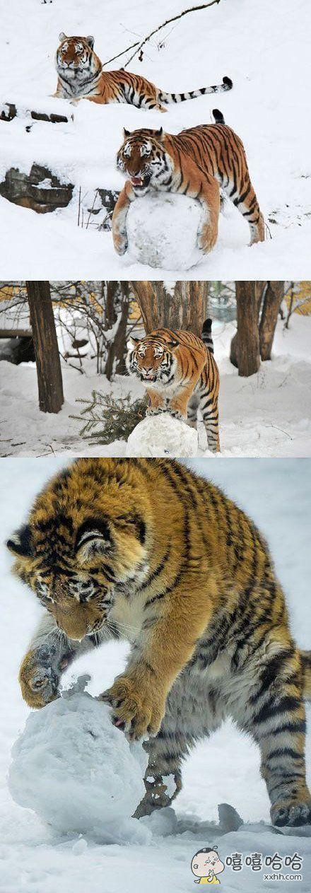 虽说我是虎,但咱也是猫科动物!