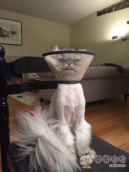 十一区一小哥带家里猫咪去做手术,回家之后就是这个造型了。。。