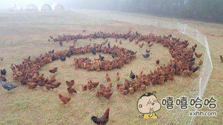 这些鸡在做神马?