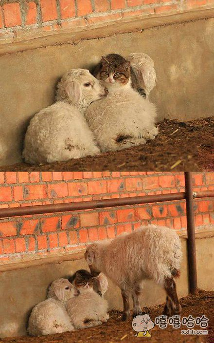新疆的一个农场,猫咪发现了新的取暖方法