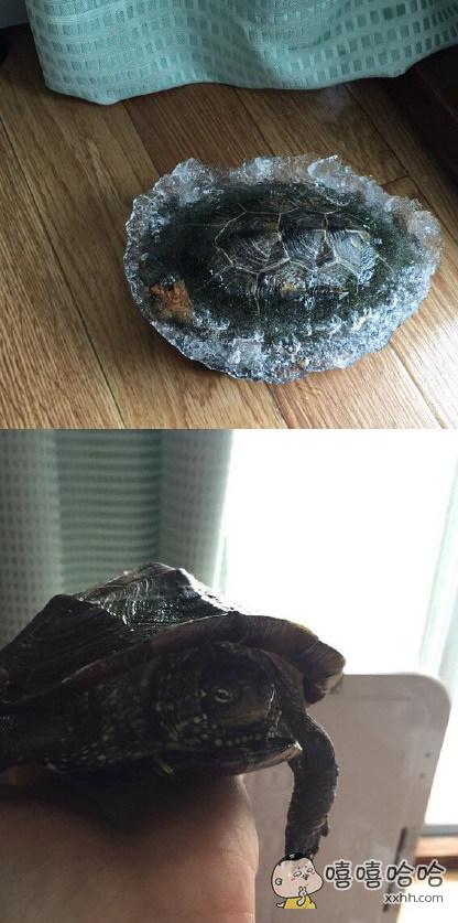 岛国一妹子早上起来看窗外一片茫茫白雪,起初还欣赏了一会,然后才想起来家养的大龟还泡在阳台水槽里!。。。营救回来时已整体冻成了水晶龟。幸好福大命大,平安无事,然而感觉龟龟心里是崩溃的