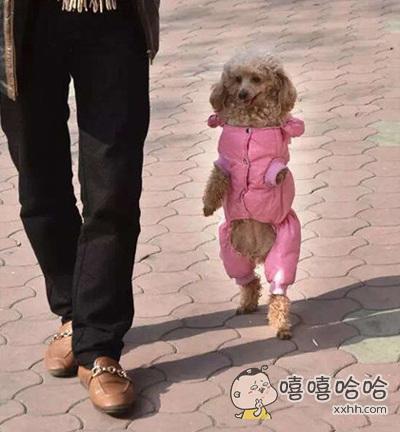 一只喜欢站着走路的汪星人
