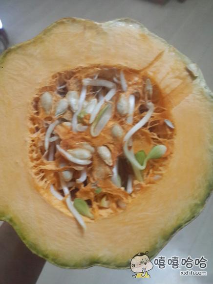 老爸种的南瓜切开里面全是豆芽。。