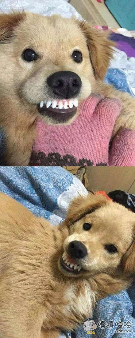 戴上假牙套的汪,一个大写的逗比。