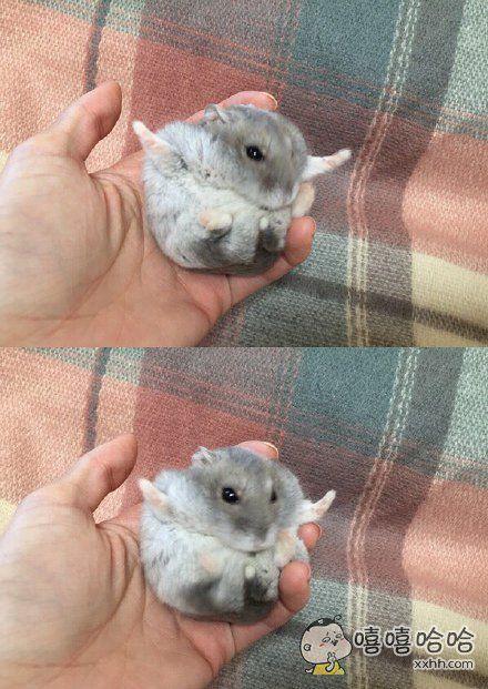 """网友家的小仓鼠张开自己两只小爪,一副要上天的样子。。。仓鼠:""""谁都憋要拦朕!朕要上天!"""""""