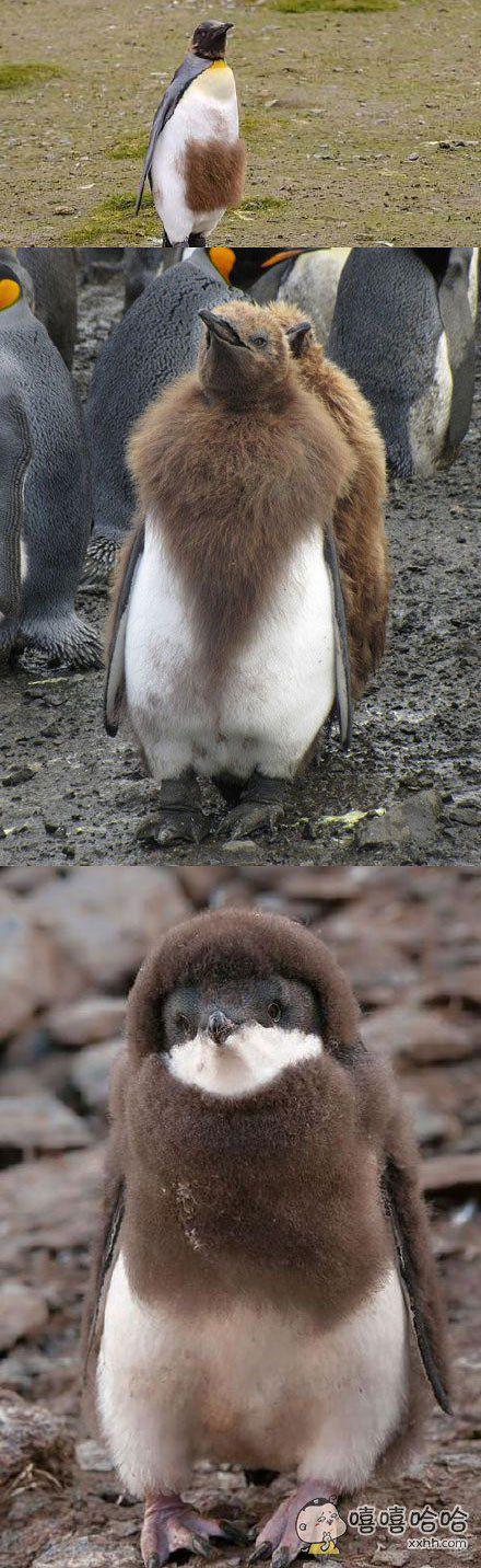 小企鹅成年以后毛还没有换完。。。像是一场秋冬时装秀。。