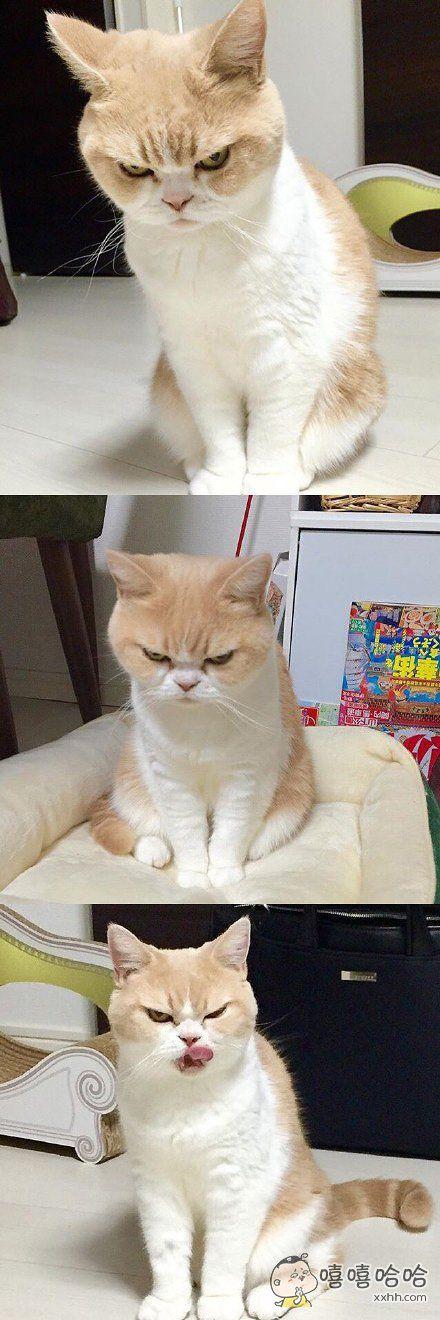 """自带生气表情的猫咪,脸上一个大写的""""滚""""字"""