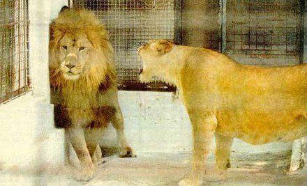 狮子王也怕老婆