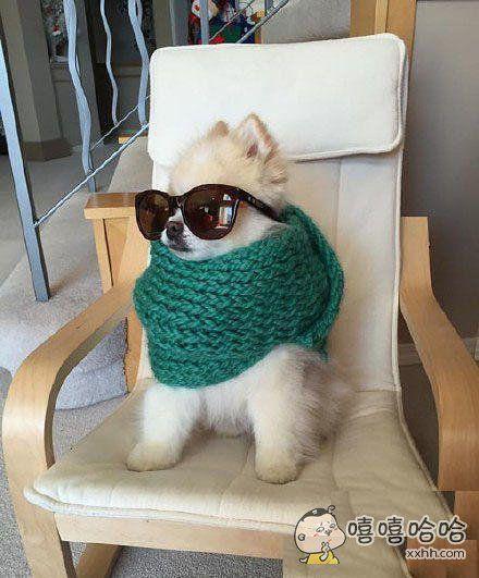 惊奇的发现,给汪星人戴上太阳镜打上围巾后会变帅哦。