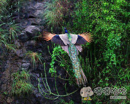 孔雀真是鸟!能飞!