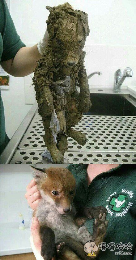 海外的动物救助站在野外搭救了一只水泥狗,结果洗干净发现是只狐狸。。