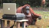 小女孩和大猩猩的感人对话