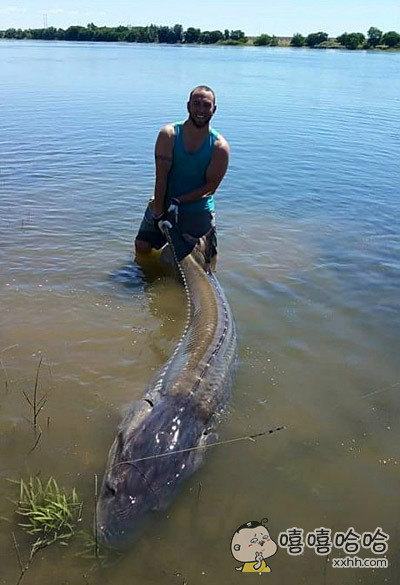 超级大鲶鱼,要是烤着吃能够50个人吃吧。