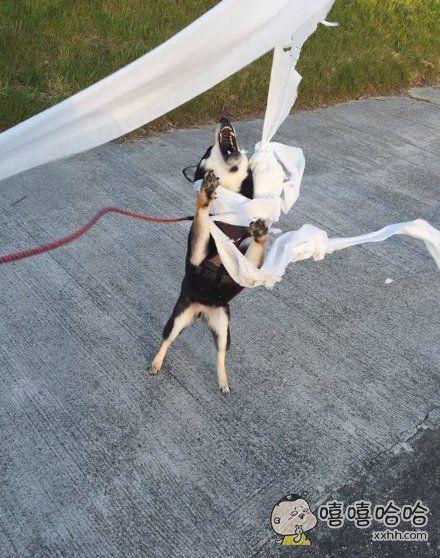 为了给狗狗铲屎,拿来了厕纸,不料败给了大风!大风吹~~