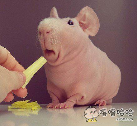 一只天生无毛的豚鼠……
