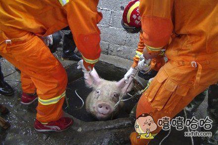 是这只猪报的警吗