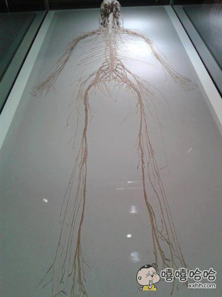 抽取出来的人体神经系统
