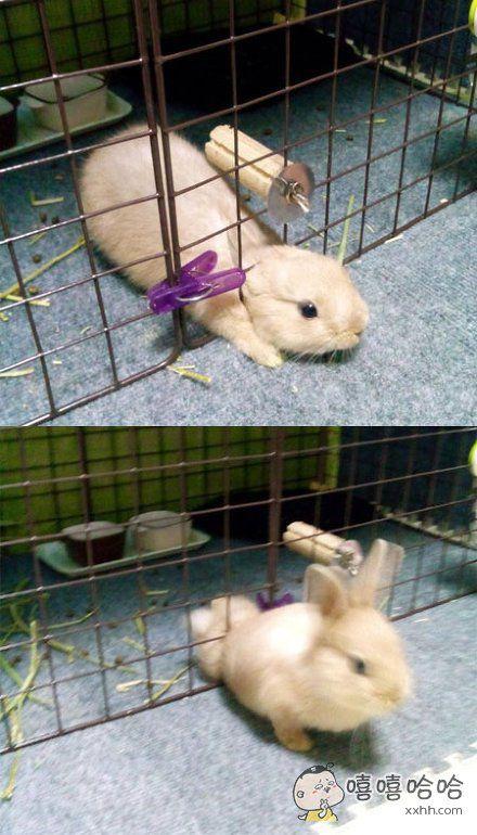 岛国一主人拍下了自家兔兔减肥成功顺利逃跑的瞬间……瘦了才有自由和尊严
