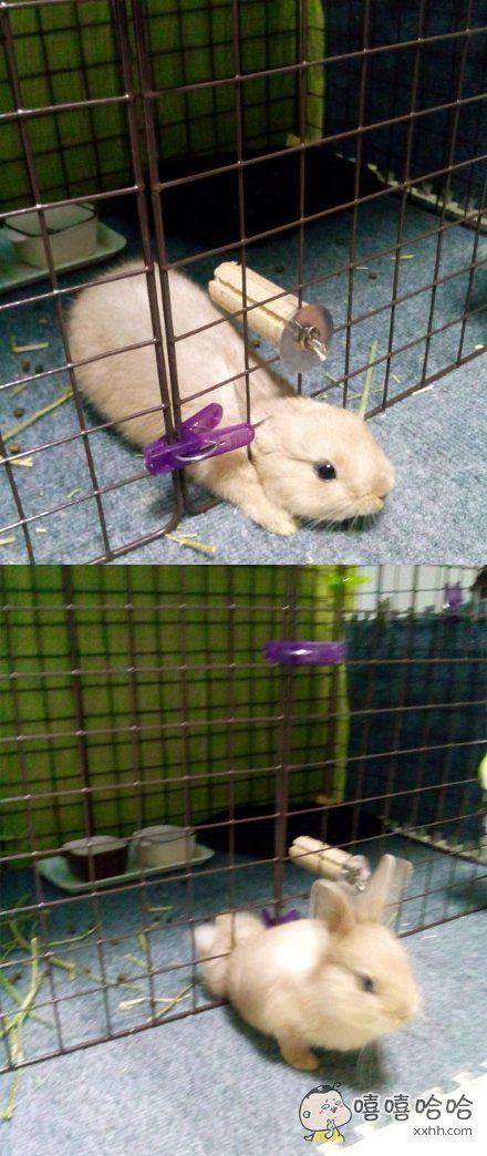 岛国某网友对他家的小兔叽每次是怎么越狱的百思不得其解,今天终于抓拍到了越狱瞬间!说了多少次人家是虚胖!