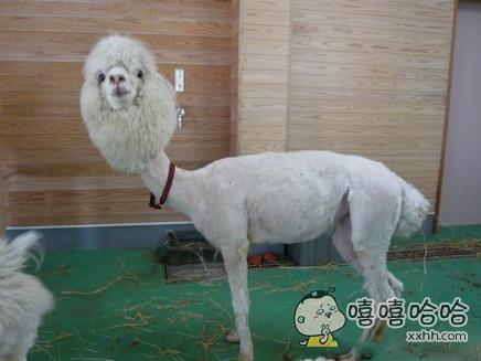 动物园剃了毛的羊驼驼。。驼生已经生无可恋了。。