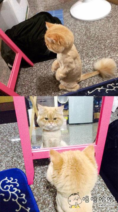 网友帮它家喵星人剃完毛之后。。。。。它就在镜子前照了很久了,还是不肯离去!