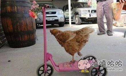 次奥,母鸡准备来一场骑乘决斗