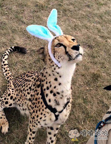 老子是豹子不是兔子