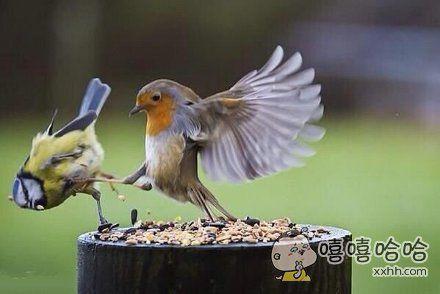 为了抢吃的,两只小鸟上演全武行