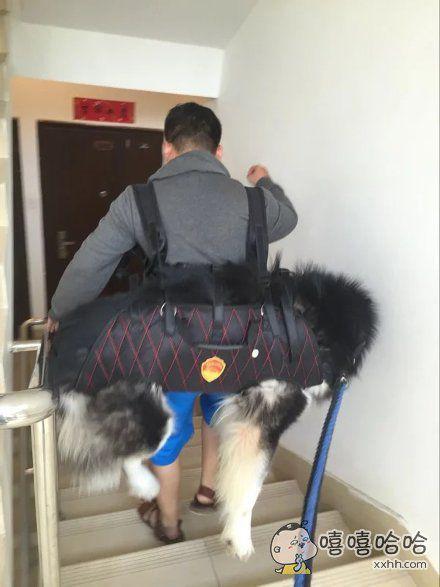 新一轮的遛狗神器,想问问主人这还能走得动吗?