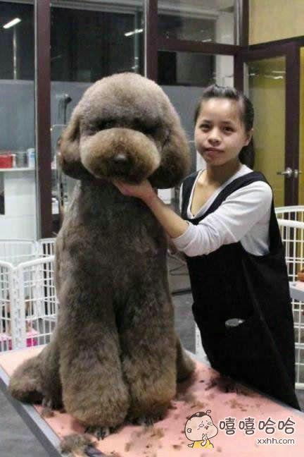 你见过这么大的贵宾犬么