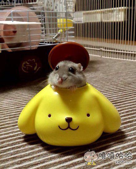 家中的仓鼠君超级呆萌,真是太可爱了