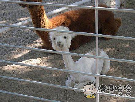 剃了毛的羊驼,哈哈哈哈哈好诡异