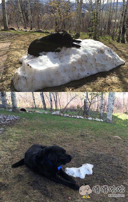 一户人家的狗狗无比爱冬天无比爱玩雪……春天的到来,狗狗各种拼死守卫家里最后一滩没化完的小雪堆……最后全部融化完之后它的表情……简直忧桑……