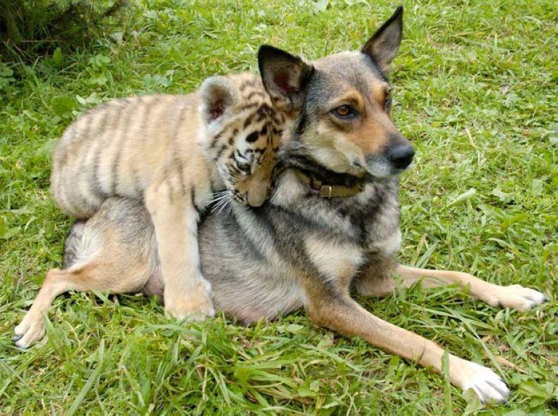 对话如下:走开,找母老虎去,她才是你娘  ... 不嘛,你给喂俺奶,你就是俺亲娘。 结论:果真是狗娘养的!
