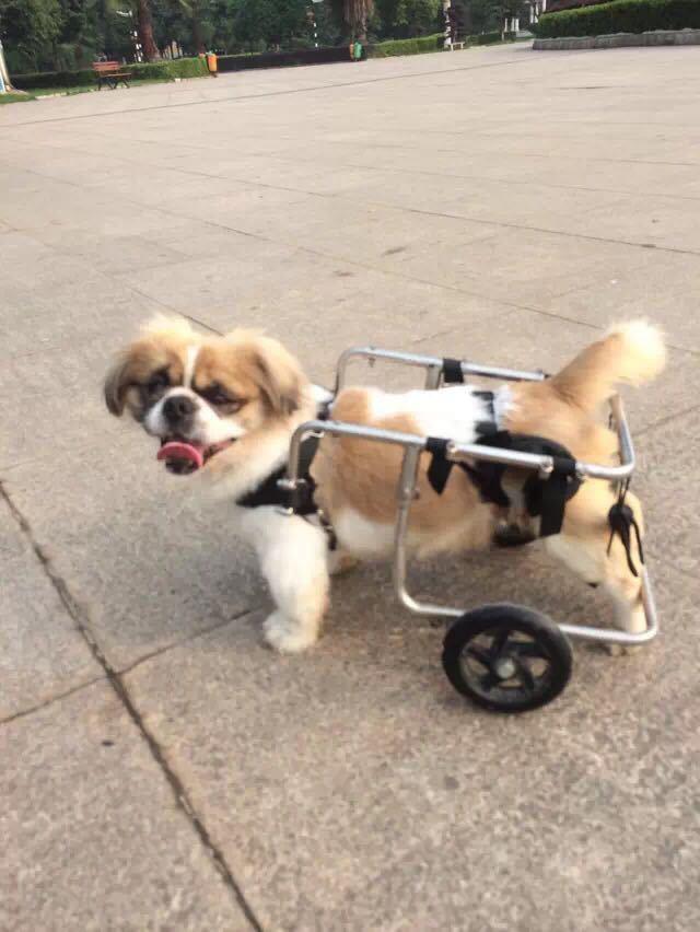 小区下有只坚强的狗狗,和一位爱的的爷爷,为它做了个小车