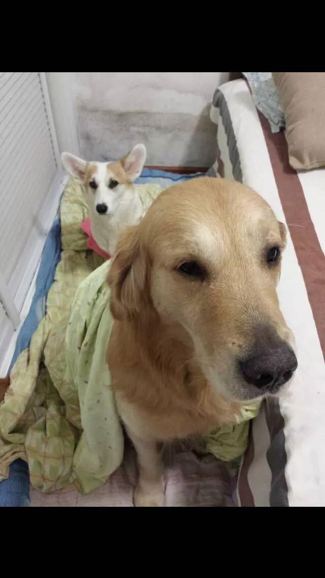 """把狗放朋友家了一晚,第二天发来图片给我。尼玛∑(⊙▽⊙""""a那金毛对我的宝宝做了什么,衣冠不整,再看看她懵懂的眼神,你还我狗清白"""