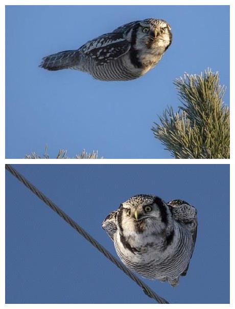 一个芬兰摄影师拍到的一只路过的猫头鹰........ 看什么看啊! 没见过人家飞啊......