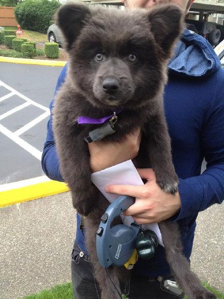 网友SquirrellyGurly 说他们家狗身上有德牧,秋田和柯基的基因,然后混出了一只熊。