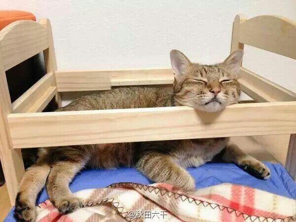 网友家的肥猫,即使把床睡塌了也要过去,一只节俭念旧的猫!