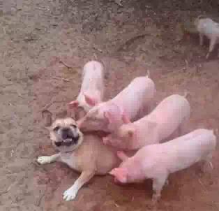 汪星人也是日了猪了