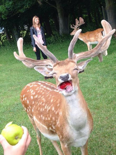 一只咬到了苹果的小鹿,露出了本质吃货的最纯真笑容