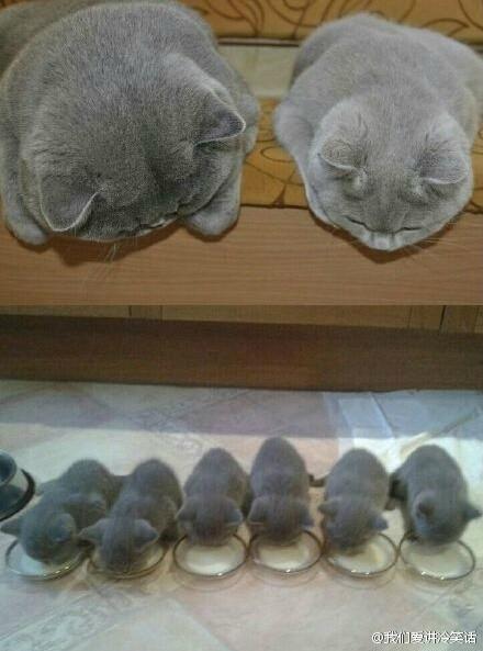 话说一对喵星人最近生了宝宝,每当宝宝吃饭的时候,粑粑麻麻都爱的靠在旁边看著它们吃......好温馨的一家喵~~~