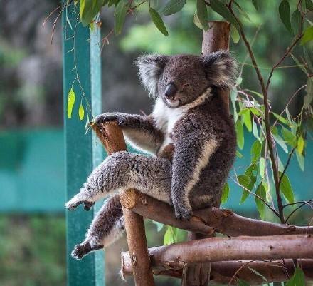 救命啊树袋熊原来有这么长的腿……