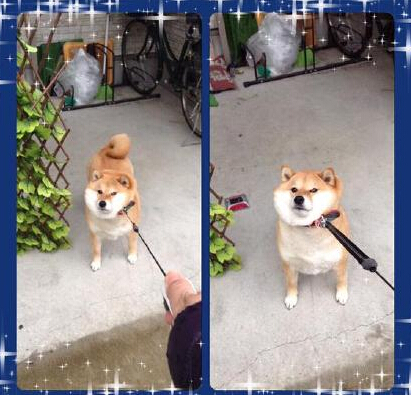 一到雨天就拒绝陪主人散步的柴犬ハナ...【心好累ww...(:3_ヽ)_